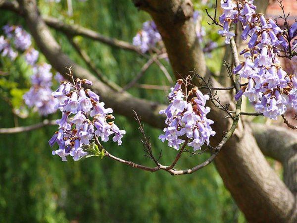 Flori de Paulownia Tomentosa